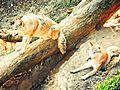 Himalayan Wolves, Darjeeling.jpg