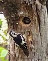 Himalayan Woodpecker- Pair at nest I3 IMG 3932.jpg