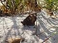 Hipparchia semele Neringa.jpg