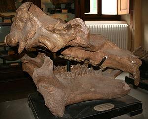 Hippopotamus major - Side view of skull