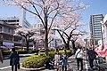 Hitachi Sakura Festival, Ibaraki 05.jpg