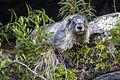 Hoary Marmot (2) (21459379036).jpg