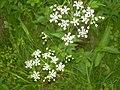 Hogweed near River Petteril. - geograph.org.uk - 848111.jpg