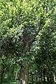 Hohe Wand - Eibe (Naturdenkmal WB-045).JPG