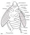 Holcoptera giebeli NHMUK PI II.3101 a specimen illustration.jpg