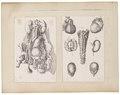 Homo sapiens - 1700-1880 - Print - Iconographia Zoologica - Special Collections University of Amsterdam - UBA01 IZ19600093.tif