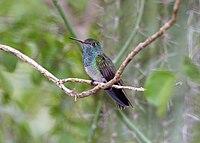 Honduran Emerald (Amazilia luciae) (2495402213)