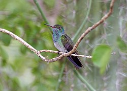 Honduran Emerald (Amazilia luciae) (2495402213).jpg