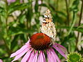 Honey bee and painted lady on Echinacea purpurea.JPG
