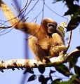 Hoolock Gibbon (Female ) 2013-12-07 13-50.jpg