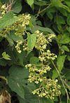 Hop mannelijke bloeiwijze Humulus lupulus male plant.jpg