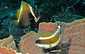 Horned Bannerfish (Heniochus varius) (Top) and Threeband Pennantfish (Heniochus chrysostomus) (Bottom) (8481865388).jpg