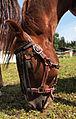 Horse eating 2.jpg