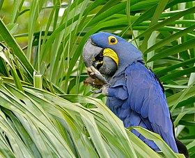 Hyacinth Macaw (Anodorhynchus hyacinthinus) feeding on palm nuts ... (27806820135).jpg