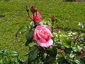Hybrid Tea - Pink Favorite 05 (b).JPG