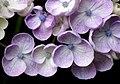Hydrangea (15220886390).jpg