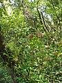 Hydrangea macrophylla (Thunb.) Ser. (AM AK317497-2).jpg