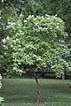 Hydrangea paniculata floraison.jpg