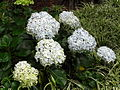 Hydrangeas at Doddabetta peak.jpg