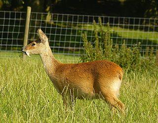 Water deer A species of mammals belonging to the deer, muntjac, roe deer, reindeer, and moose family of ruminants