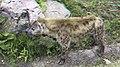 Hyena Blijdorp Zoo 3D (35954408410).jpg