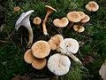 Hygrophoropsis aurantiaca normal und hell.jpg