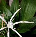 Hymenocallis speciosa73265323.jpg