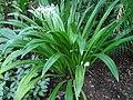 Hymenocallis speciosa (BG Zurich)-01.JPG