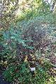 Hypericum forrestii - Quarryhill Botanical Garden - DSC03326.JPG
