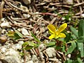 Hypericum humifusum sl13.jpg