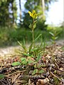 Hypericum humifusum sl9.jpg