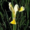 IMG 7907-Iris orientalis.jpg