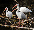 Ibises at LWNWR - Flickr - Andrea Westmoreland.jpg