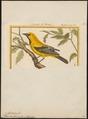 Icterus xanthornus - 1700-1880 - Print - Iconographia Zoologica - Special Collections University of Amsterdam - UBA01 IZ15800203.tif
