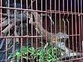 Iguana in Jatinegara Market.jpg