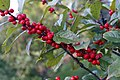 Ilex verticillata Maryland Beauty 3zz.jpg