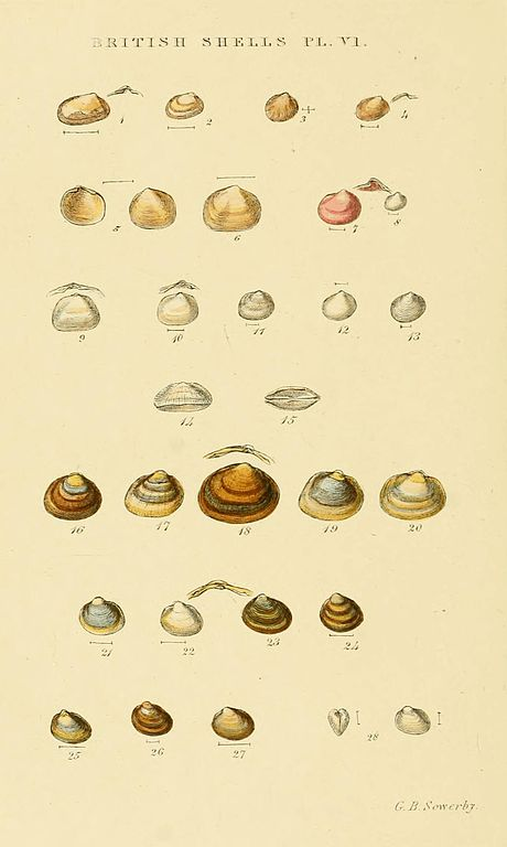Illustrated Index of British Shells Plate 06.jpg