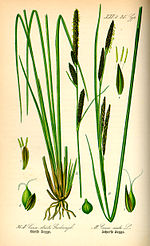 Illustration Carex elata0.jpg