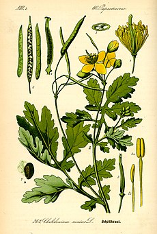 Illustration Chelidonium majus0.jpg
