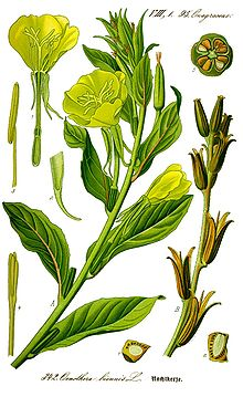 Illustration Oenothera biennis0 clean.jpg
