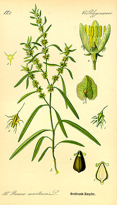 Illustration Rumex maritimus0.jpg