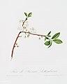 Illustration from Pomona Italiana Giorgio Gallesio by rawpixel00045.jpg