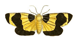 Illustrations of Exotic Entomology Arctia Menea.jpg