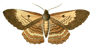 <i>Letis hercyna</i> species of insect