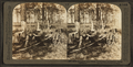 In the great pine forest, collecting turpentine, North Carolina, from Robert N. Dennis collection of stereoscopic views 2.png