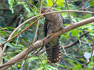 Indian cuckoo - A male juvenile