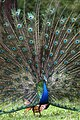 Indian Peafowl by Joseph Lazer.jpg