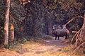 Indian Rhino (Rhinoceros unicornis) male - impressive sight when you are on foot ... (20353788948).jpg