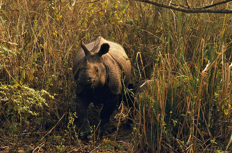 Bestand:Indian Rhinos (Rhinoceros unicornis) female and young (20540630555).jpg