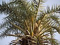 Indian Wine Palm (5496590774).jpg